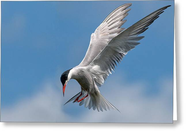 Hovering Greeting Cards - Common Tern  Greeting Card by Ian Hufton