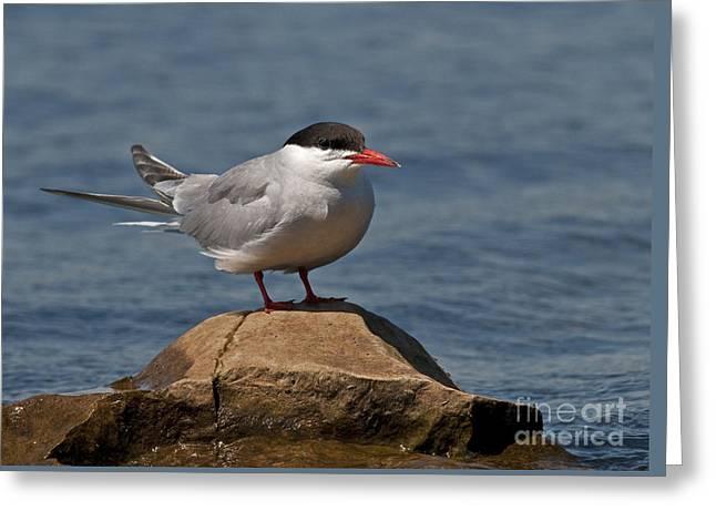 Hirundo Greeting Cards - Common Tern... Greeting Card by Nina Stavlund