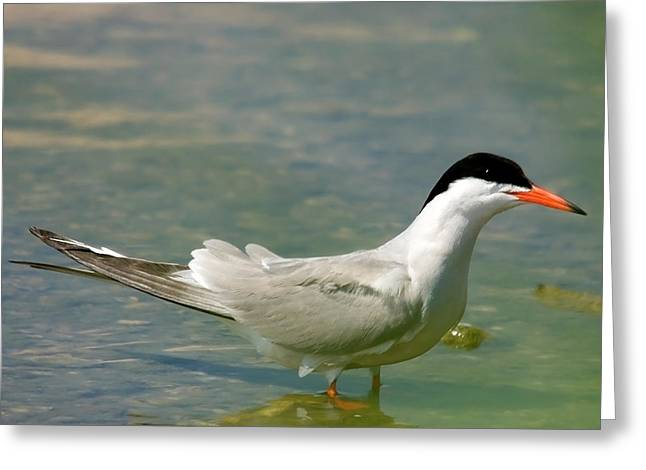Common Tern Portrait Greeting Card by Cliff  Norton