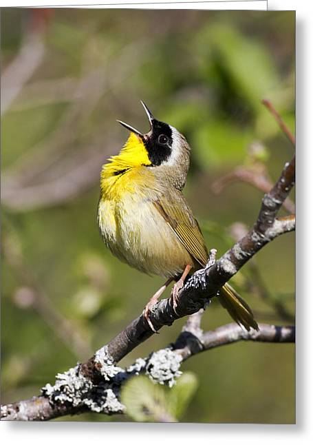 Wildlife Celebration Greeting Cards - Common Yellowthroat Sings to Spring Greeting Card by Birds Only