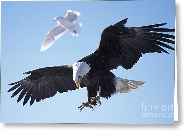 Flying Seagull Greeting Cards - Competition Greeting Card by Rolf  Kopfle