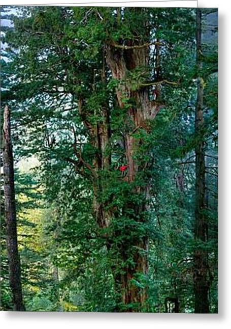 Sequoia Greeting Cards - Composite Image, 310 Foot With Most Greeting Card by Michael Nichols