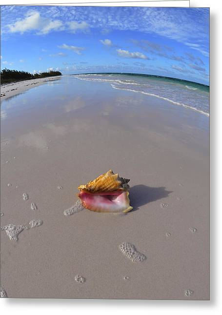 Snorkel Greeting Cards - Conch Shell on the Beach in the Bahamas Greeting Card by Brent Barnes