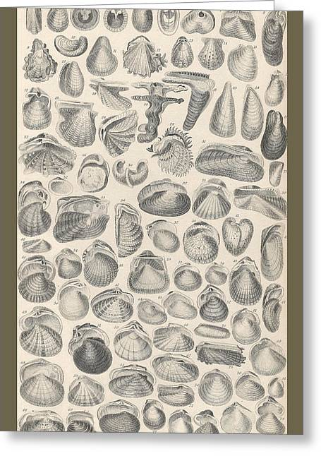 Ocean Shore Drawings Greeting Cards - Conchology Greeting Card by Captn Brown