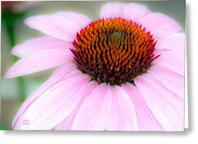 Stigma Greeting Cards - Cone Flower Greeting Card by John Bailey