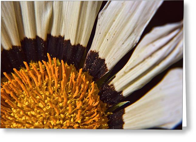 Coneflowers Greeting Cards - Coneflower Greeting Card by Steven Wilson