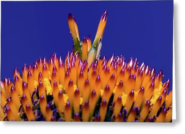 Coneflower Study Greeting Card by Betty LaRue