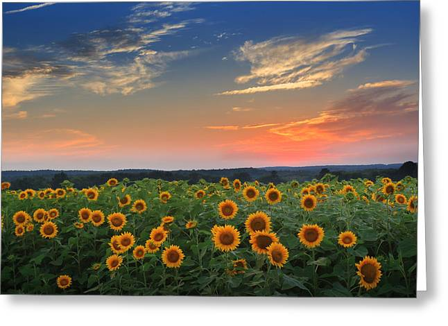 Connecticut Sunflowers In The Evening Greeting Card by Bill Wakeley