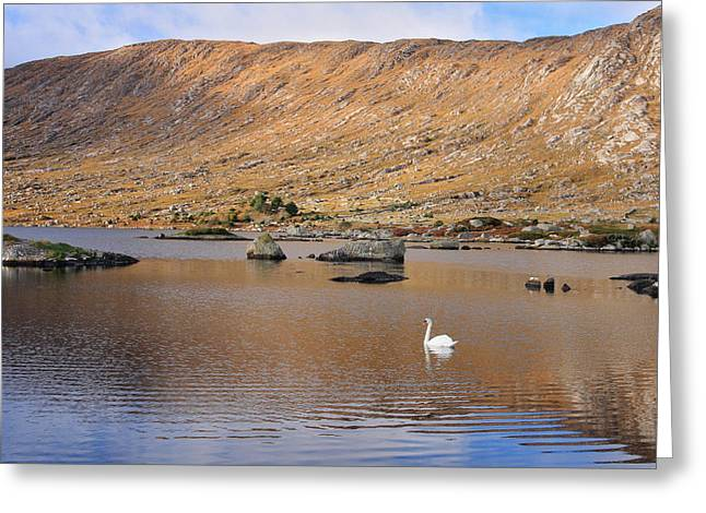 Muted Greeting Cards - Connemara mute swan ireland Greeting Card by Pierre Leclerc Photography