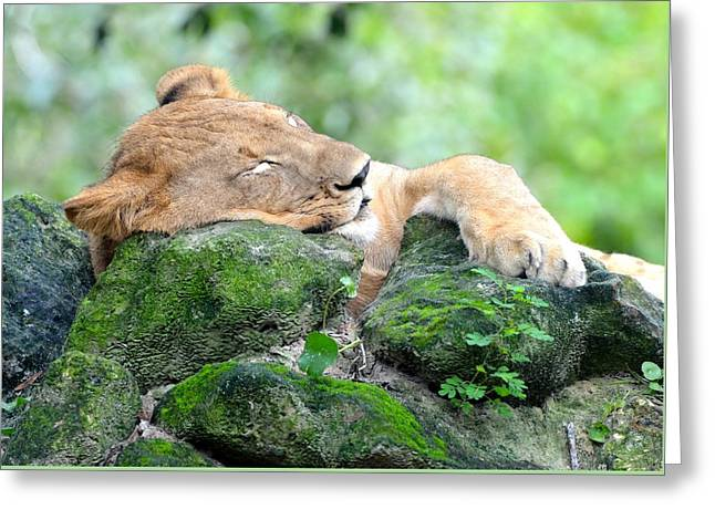Lioness Greeting Cards - Contented Sleeping Lion Greeting Card by Richard Bryce and Family