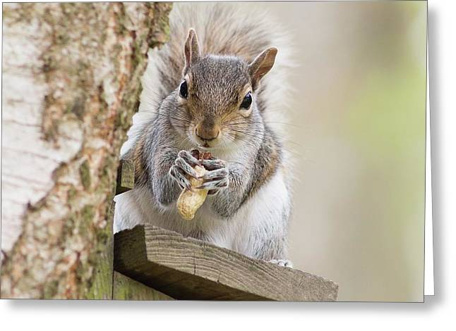Contented Squirrel Greeting Card by Natalie Kinnear