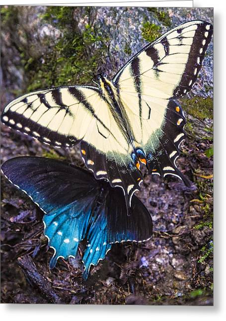 Butterlfy Greeting Cards - Contrast Greeting Card by Shelley Vandegrift