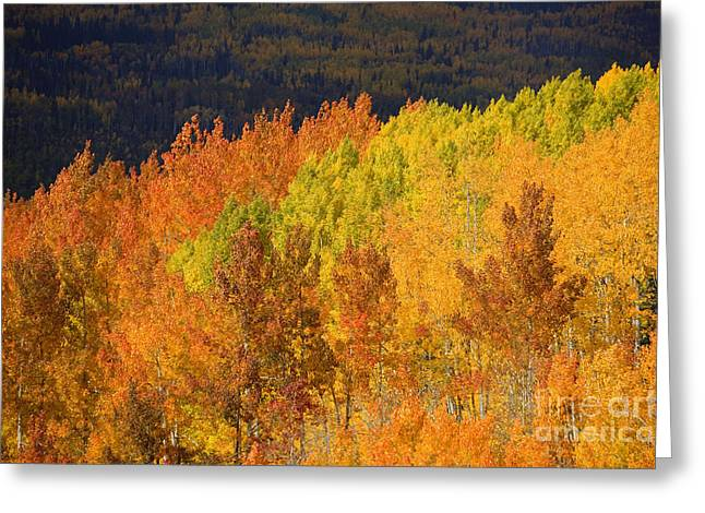Steamboat Springs Western Greeting Cards - Contrasting Aspens Greeting Card by Ron Dahlquist - Printscapes