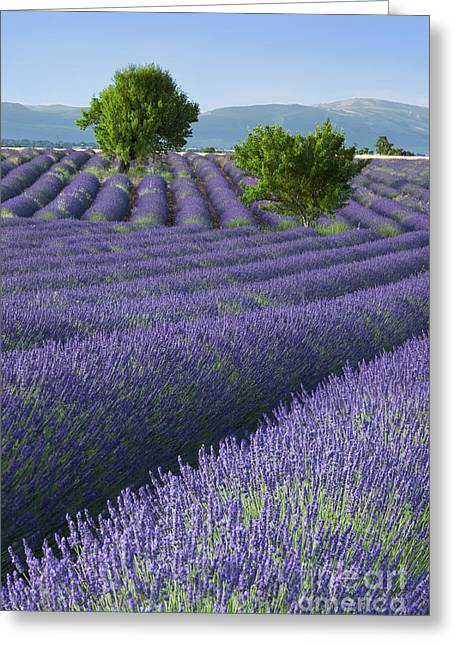 Converging Lavender Fields Greeting Card by Brian Jannsen