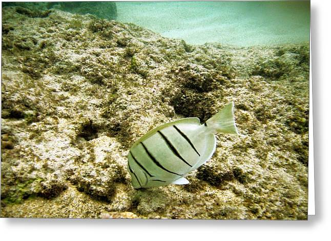 Hawaiian Fish Greeting Cards - Convict Tang Greeting Card by Michael Peychich