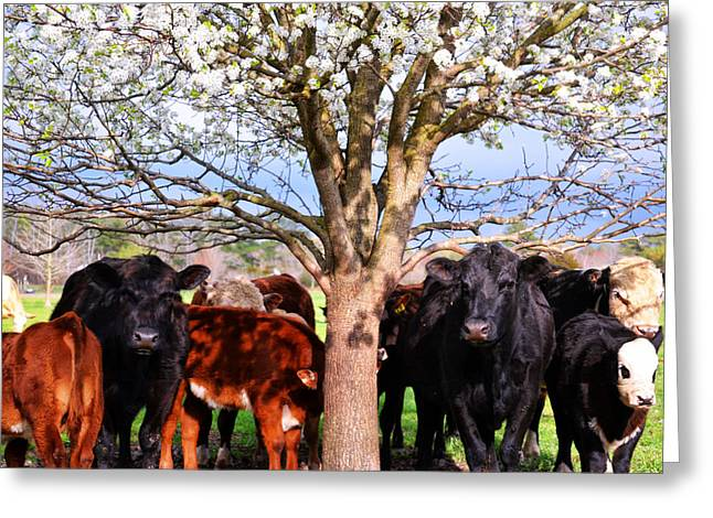 Cool Cows Greeting Card by Kelly Reber