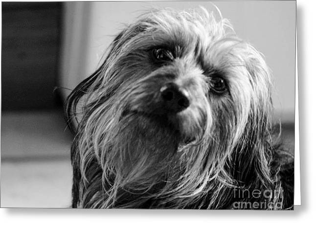 House Pet Greeting Cards - Cooper Greeting Card by Katy Bail