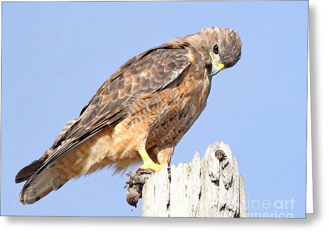 Animals Art Greeting Cards - Coopers Hawk With Meal Greeting Card by Animals Art
