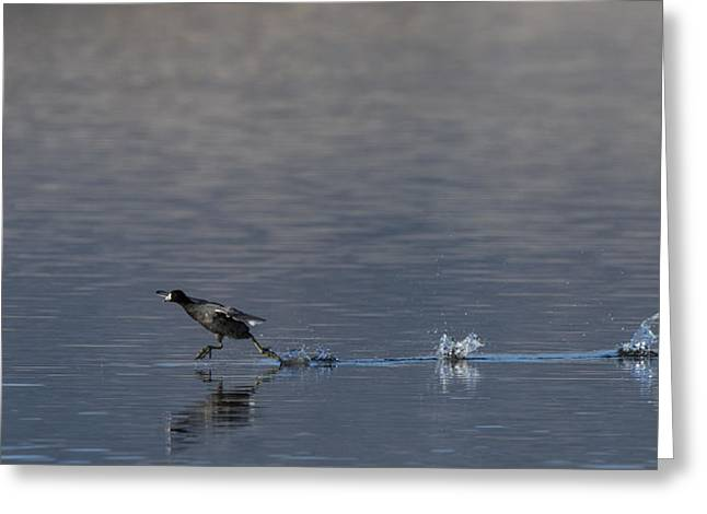 Fowl. Wildlife Greeting Cards - Coot Running Greeting Card by Noah Bryant