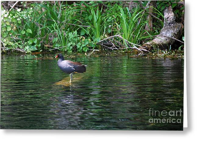 Photos Of Birds Greeting Cards - Coot Greeting Card by Skip Willits