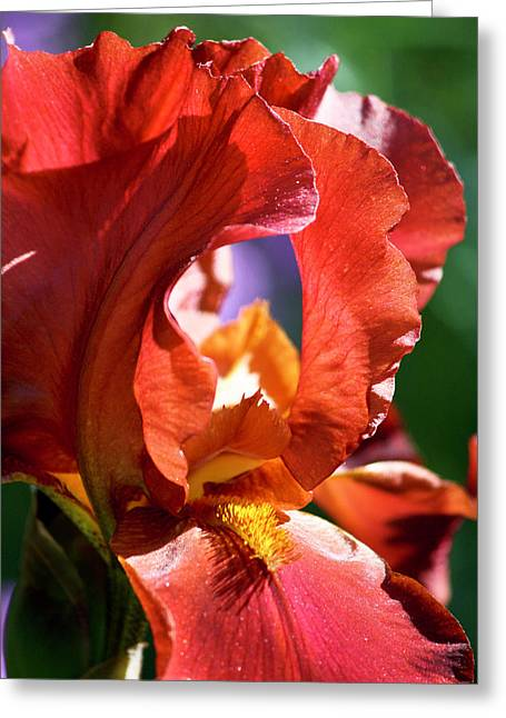 Russet Greeting Cards - Copper Iris Study 3 Greeting Card by Teresa Mucha