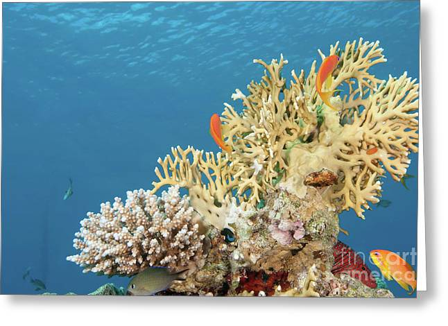 Eco System Greeting Cards - Coral Reef Eco System Greeting Card by Hagai Nativ