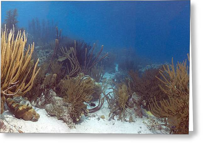 Sea Fan Greeting Cards - Coral Reef Greeting Card by Peter Scoones