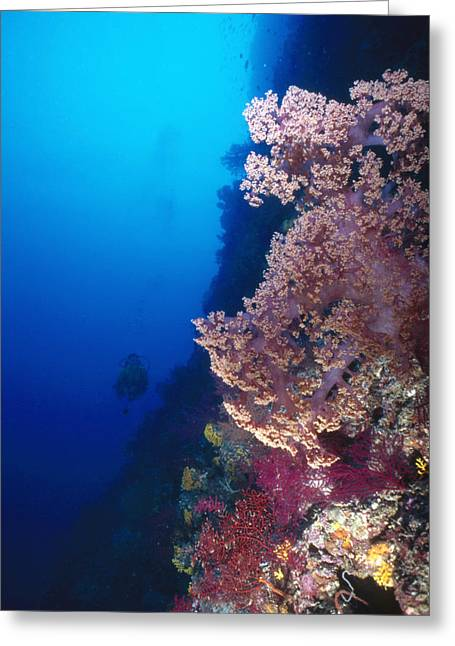 Solomon Greeting Cards - Coral Reef Wall With Pink Softcoral Greeting Card by James Forte