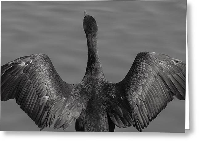 Photographs Greeting Cards - Cormorant 3 Greeting Card by Todd Sherlock