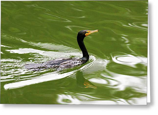 Double-crested Cormorant Greeting Cards - Cormorant Greeting Card by Randall Ingalls