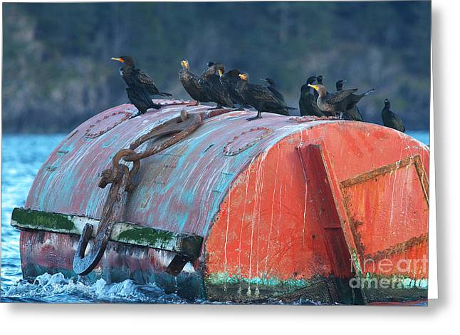 Neotropics Greeting Cards - Cormorants on a Barrel Greeting Card by Sharon  Talson