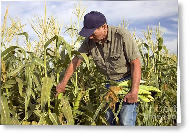 Sweet Corn Greeting Cards - Corn Field And Farmer Greeting Card by Inga Spence