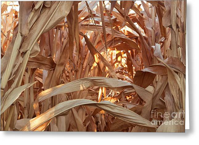 Farmers Field Greeting Cards - Corn Field Before Harvest Greeting Card by Inga Spence