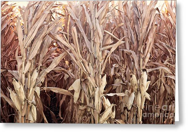 Farmers Field Greeting Cards - Corn Field, Rows Of Dry Stalks Greeting Card by Inga Spence