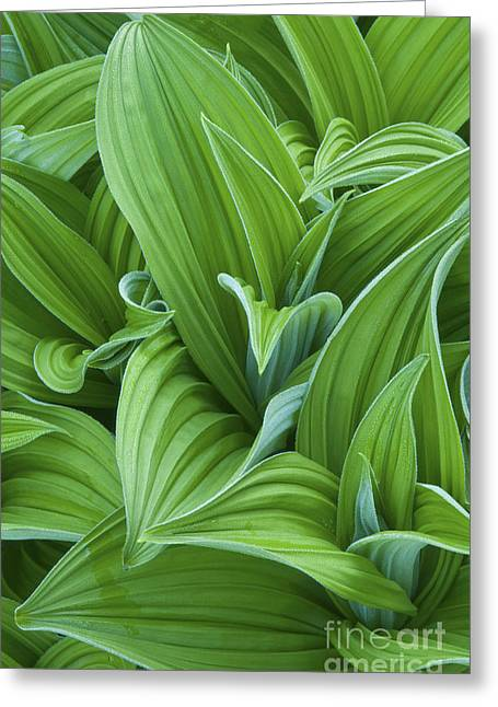 False Hellebore Greeting Cards - Corn Lily Leaves Greeting Card by Greg Vaughn - Printscapes