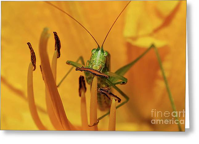 Gold Bug Greeting Cards - Corn On The Cob Greeting Card by Lois Bryan