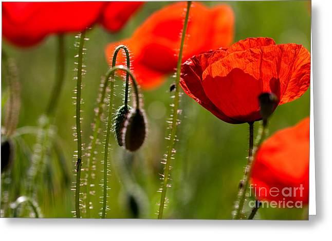 Grown Greeting Cards - Corn Poppy Flowers Greeting Card by Nailia Schwarz