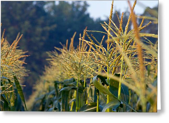 Sweet Corn Farm Greeting Cards - Corn Rows Greeting Card by Tim  Fitzwater