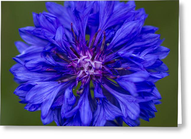 Close Focus Floral Greeting Cards - Cornflower Greeting Card by Clare Bambers