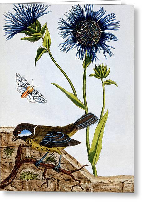 Cornflowers Greeting Card by Pierre-Joseph Buchoz