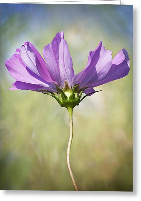 Cosmos Greeting Card by Barbara Smith