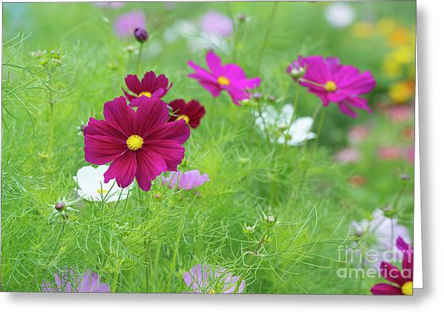 Cosmos Color Greeting Card by Tim Gainey