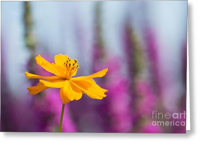 Cosmos Polidor Flower Greeting Card by Tim Gainey
