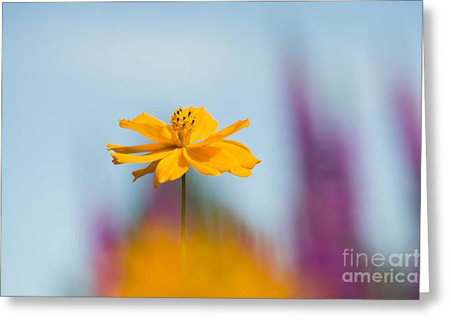 Cosmos Polidor  Greeting Card by Tim Gainey