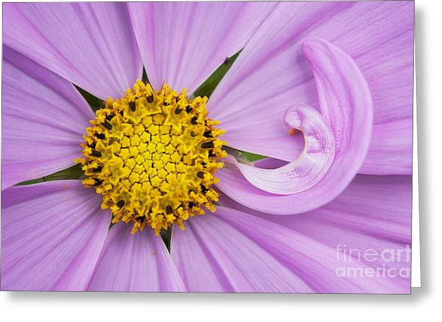 Cosmos Sonata Pink  Greeting Card by Tim Gainey