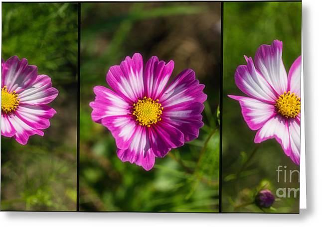 Decor.pink.green Flowers Greeting Cards - Cosmos Trio Greeting Card by Veikko Suikkanen
