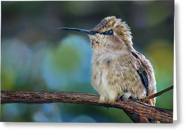 Costa Greeting Cards - Costas Hummingbird - Square Greeting Card by Nikolyn McDonald