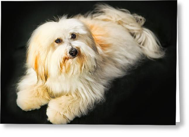 Coton Tulear Photographs Greeting Cards - Coton de Tulear - Button Greeting Card by Fred J Lord