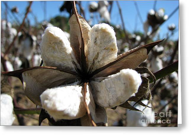 Cotton Farm Greeting Cards - Cotton Greeting Card by Amanda Barcon