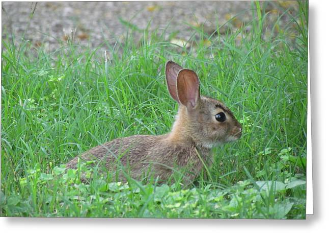 Eyebrow Greeting Cards - Cottontail Rabbit3 Greeting Card by Cobey Coles